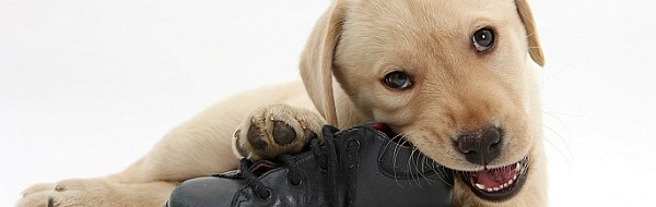 Yellow Labrador Retriever pup, 8 weeks old, chewing a child's shoe